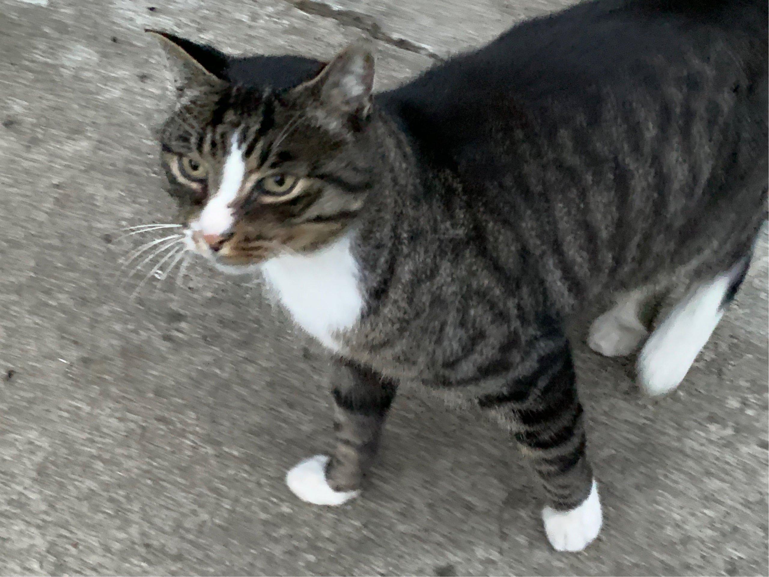Hübsche Katze sucht liebevollen Eigentümer – Vorgemerkt Horstmar – Resthof mit Schoppe